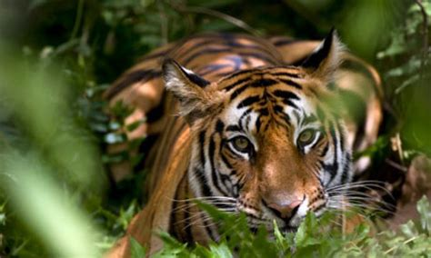 Inidia Cat 27 india s tiger numbers increase for time in a decade