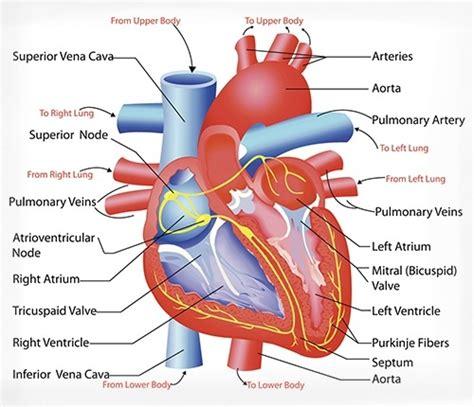human vascular system diagram cardiovascular system diseases
