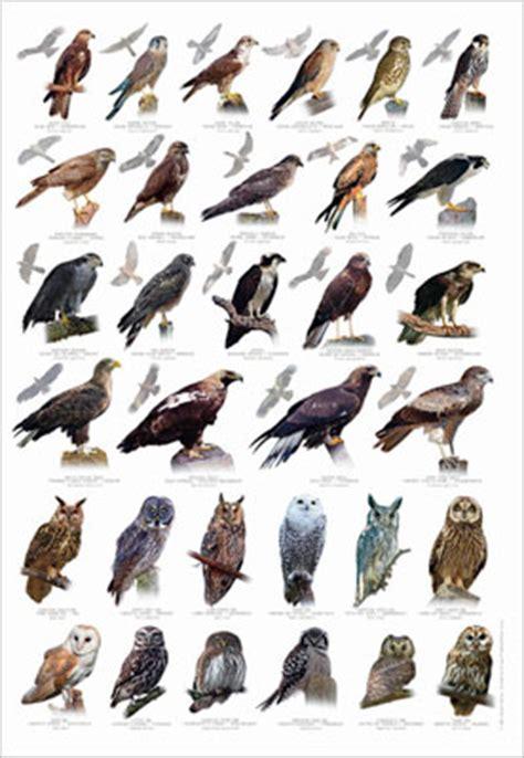 bird of prey identification poster
