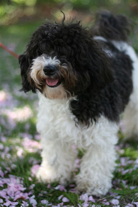 breed behavior havanese puppies rescue pictures information temperament characteristics