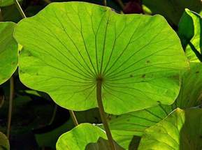 Lotus Leaf Meaning Lotus Leaf Pictures To Pin On Pinsdaddy