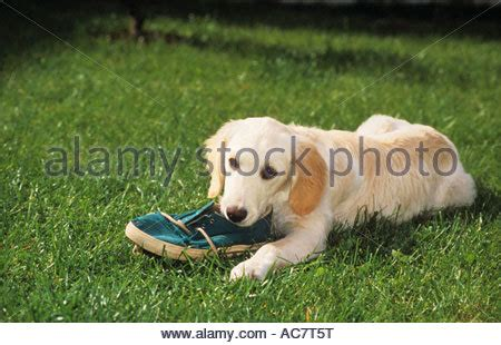golden retriever chewing chewing a shoe stock photo royalty free image 31491657 alamy