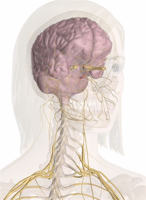diagram of nerves in neck nerves of the and neck interactive anatomy guide