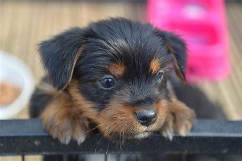pug x terrier puppies pug x miniature terrier puppies lyndhurst hshire pets4homes
