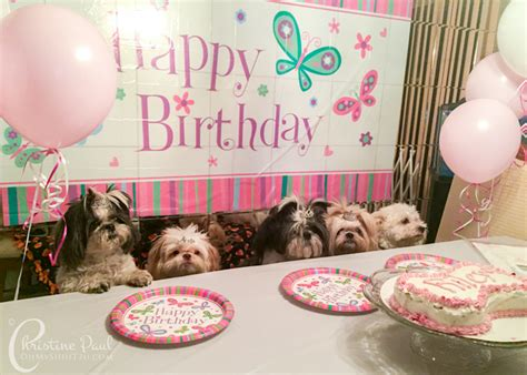 shih tzu birthday shih tzu birthday on a budget oh my shih tzu