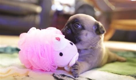 what do pugs like to play with this pug puppy with a pink loofah so