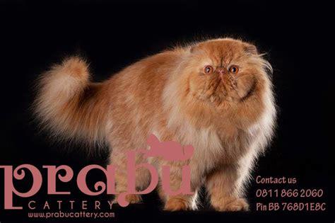 Berapa Sho Kucing prabu cattery harga kucing terbaru 2014