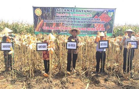 Harga Jagung Pakan Ternak Per Kg produksi jagung pakan di kediri melimpah independensi