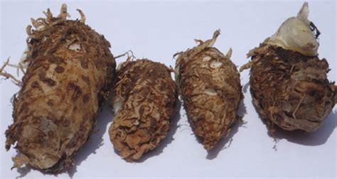 Keladi Tikus Toga Nusantara manfaat tanaman keladi tikus bibitbunga