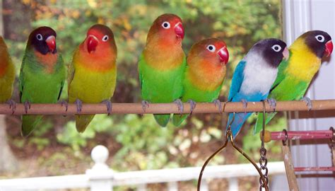 Pakan Juara Burung Bird Favorit jenis burung favorit para pria diskonaja