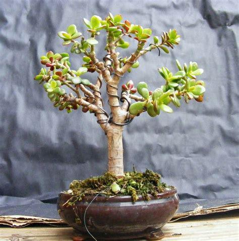 indoor bonsai kaufen crassula ovata bonsai pesquisa bonsai pelo