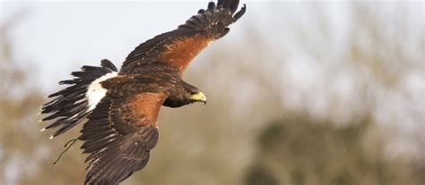 hawks that hunt in packs ash and cedar the harris hawks east sussex falconry