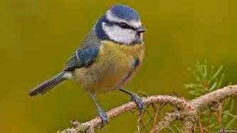 in pictures top british garden birds revealed cbbc