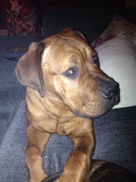 free rottweilers to home dogue de boudouex x rottweiler free to home stoke on trent staffordshire