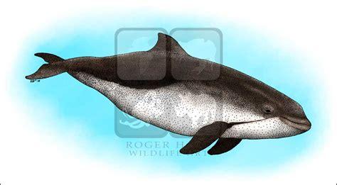 porpoise color harbor porpoise phocoena phocoena line and