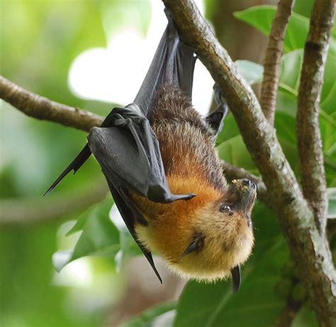 pipistrello volpe volante natura nel mondo