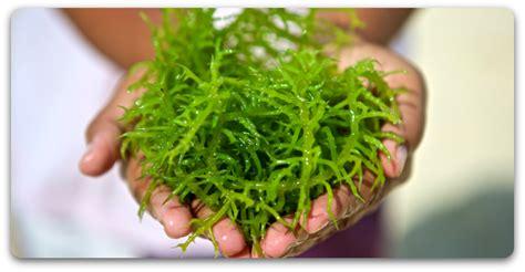 manfaat rumput laut iradio fm