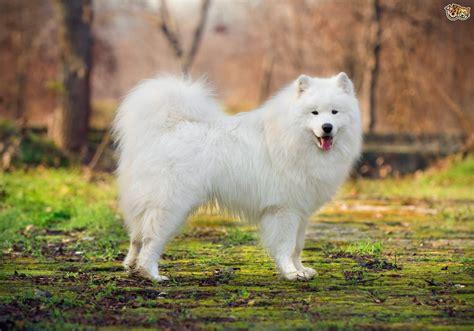 samoyed breed samoyed hereditary health and health testing pets4homes