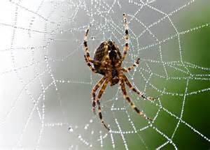 Garden Spider Or Bad Garden Spider Bite Photos