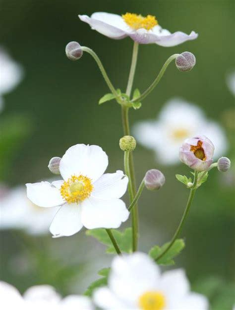 japanese anemone anemone hupehensis var japonica in