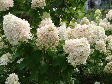 one love farm limelight hydrangea