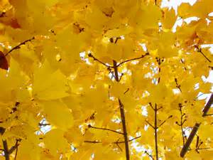tree limbs of bright yellow leaves clippix etc