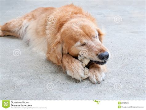 golden retriever biting golden retriever chewing stock photos image 23797513