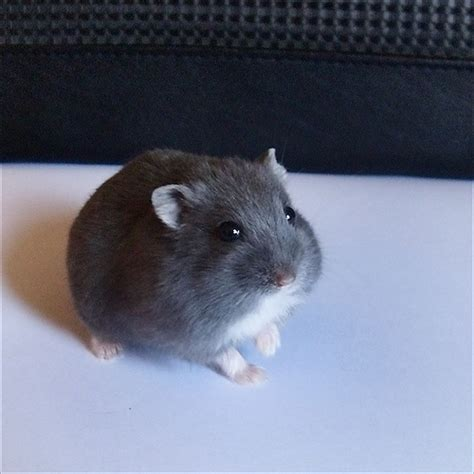 blue hamster russian blue hamster flickr photo