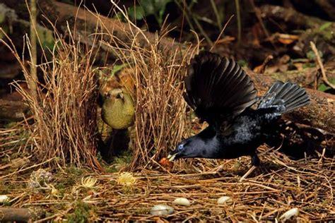 uccello giardiniere foto gli uccelli giardinieri e l arte della seduzione 3