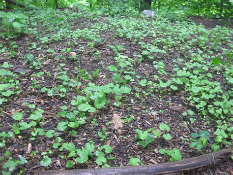 backyard weeds newspaper mulching