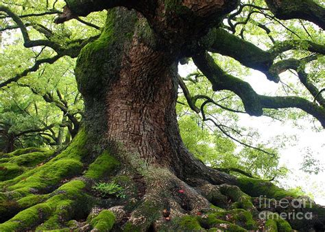 Duvet Company Old Tree In Kyoto Photograph By Carol Groenen