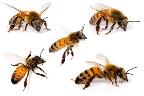 Keep Bees Away From House by Bee Repellents Thriftyfun
