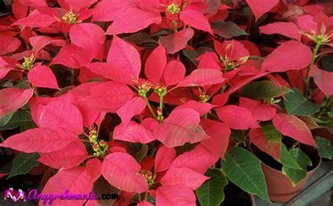 tanaman hias daun merah indoor  outdoor cocok