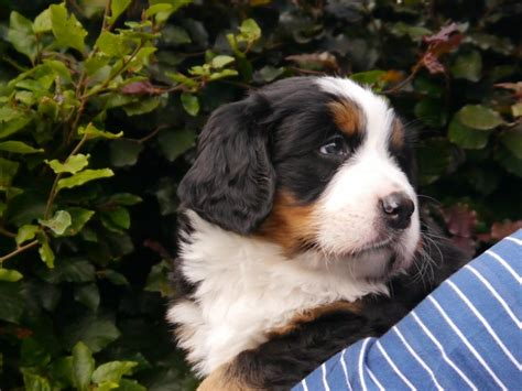 labernese puppies for sale labernese puppies for sale cheltenham gloucestershire pets4homes