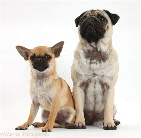 pugs and chihuahuas pug and chug pug x chihuahua pugs bulldogs boston terriers