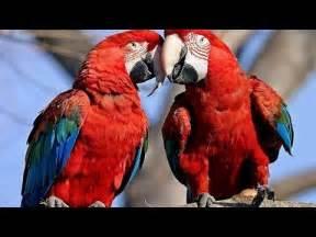 parrots majestic birds nature documentary youtube