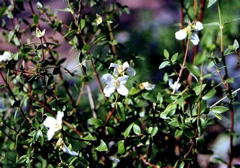 Small Flowering Shrub - philadelphus microphyllus