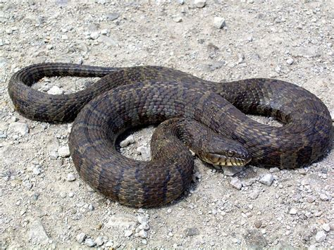 images of a water moccasin no water moccasins in nebraska outdoors journalstar