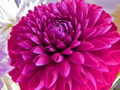 pink dahlias flickr jpeg photo
