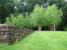 Landscape Buffer Definition River Birch Tree Fall Color For Dallas Betula Nigra Www
