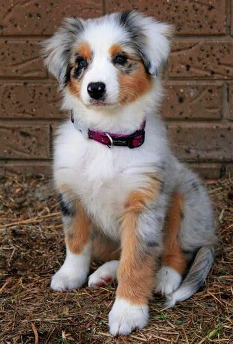 Balmut Mini Karakter Blue Trivia lovely pet s top 10 budget friendly breeds