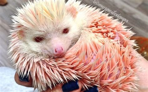 couple rescue adorable hedgehog    dyed pink