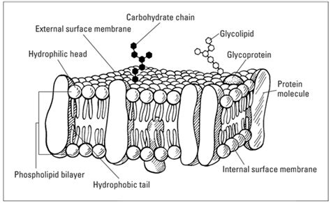 diagram of a section of a cell membrane the fluid mosaic model of the cell plasma membrane dummies