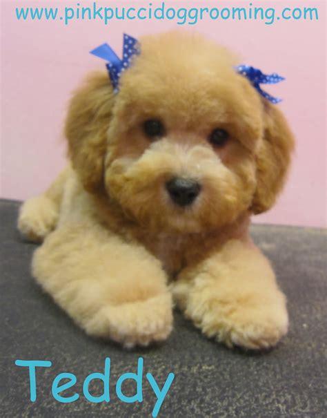 poodle grooming styles toy poodle grooming styles flickr
