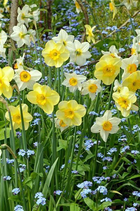 spring flower garden spring daffodil garden flowers pinterest