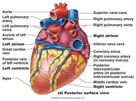 hearts and sharts anatomy system human anatomy diagram and chart