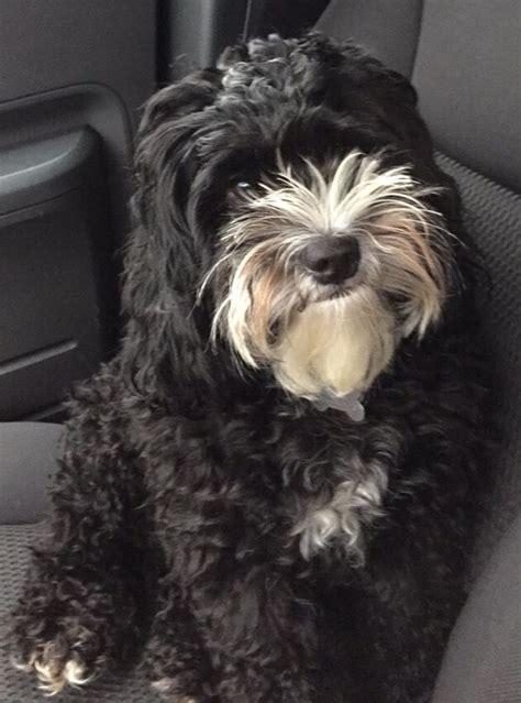 lifespan of cocker poodle my cockapoo axel black cockapoo my