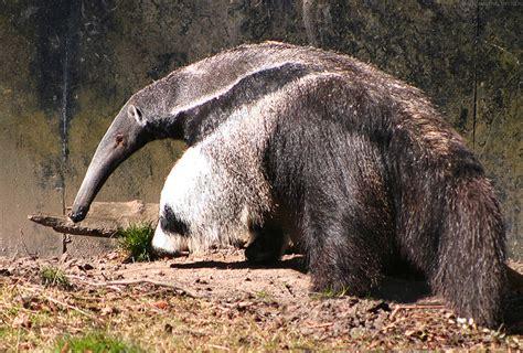 anteater dreams nest
