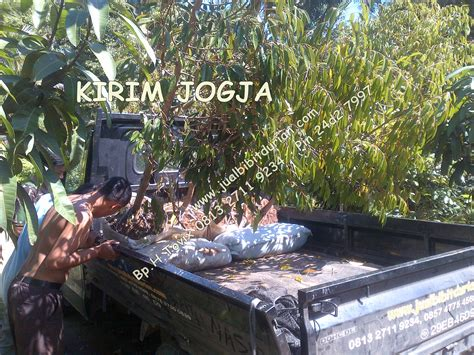 bibit mangga irwin archives bibit durian montong bibit
