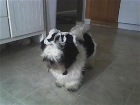 do shih tzu dogs shed hair do shih tzu dogs shed thriftyfun